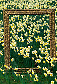 ORNATE PICTURE FRAME PROVIDES THE PERFECT COMPOSITION IN A FIELD FULL of NARCISSUS 'Ice FOLLIES'. DESIGNED by IVAN HICKS. Groombridge PLACE, KENT.