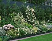 Mixed BORDER of CRAMBE CORDIFOLIA, HOSTAS, ROSES & RHODODENDRON. HOMES & GARDENS 'THE Garden of REFLECTION' DESIGNED by A. ARMOUR WILSON & P. ROGERS. CHELSEA