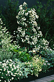 White BORDER with HOSTAS, CRAMBE CORDIFOLIA & Rosa 'SEAGULL' On BAMBOO PYRAMID. HOMES & GARDENS 'THE Garden of REFLECTION' DESIGNED by A. ARMOUR WILSON & P. ROGERS. CHELSEA