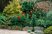 LAUNA SLATTER'S Garden, OXON: RAISED BORDER with KNIPHOFIA 'ATLANTA', POPPIES, ALCHEMILLA MOLLIS AND Lonicera NITIDA BAGGESENS Gold