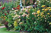 ALSTROEMERIAS AND ROSES IN CAROLYN HUBBLE'S Garden, SHROPSHIRE