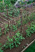 PEA 'Oregon Sugar POD' GROWING with HAZEL STICKS. YALDING GARDENS, Kent