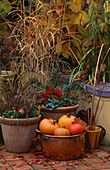 COPPER TUB with PUMPKINS & GOURDS, TERRACOTTA POTS with COTONEASTER , SKIMMIA, CYCLAMEN, Viola PENNY Orange Sunrise 2000, Carex 'Bronze Form'.