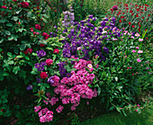 LAUNA SLATTERS Garden, OXFORDSHIRE: CAMPANULA Medium 'BELLS of Holland' , LYCHNIS CORONARIA, ERIGERON AND ROSE 'CHARLES De MILLS'