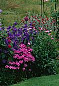 LAUNA SLATTERS Garden, OXFORDSHIRE: ERIGERON, LYCHNIS CORONARIA, CAMPANULA Medium 'BELLS of Holland', AND Dianthus