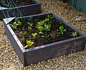 RAISED BED Made From SCAFFOLDING BOARDS AND PLANTED with SPINACH AND BEETROOT SURROUNDED by Crushed SHELL Mulch