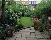VIEW ONTO City Garden with Pink BLOSSOM of JUDAS TREE 'CERCIS SILIQUASTRUM', CHOISYA TERNATA, Tulipa 'China Pink', Red Tulipa 'COULEUR Cardinal'. DESIGN: CATHY STEWART