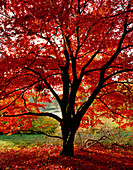 A BEAUTIFUL JAPANESE Maple IN AUTUMN COLOUR IN THE WOODLAND at ENGLEFIELD HOUSE, Berkshire