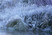 FROSTED GUNNERA MANICATA AND Carex ELATA 'AUREA' Beside THE POND at Lady Farm, Somerset
