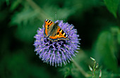 SMALL TORTOISESHELL Butterfly On ECHINOPS 'RITRO'
