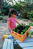 Nancy PLANTING LETTUCE INTO THE VEGETABLE BOX. Clare MATTHEWS PROJECT