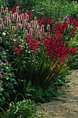 Oxford BOTANIC Garden: HERBACEOUS BORDER PLANTED with GLADIOLUS COMMUNIS BYZANTINUS AND POLYGONUM BISTORTA SUPERBUM