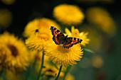 LATE SUMMER BORDER at HDRA RYTON Organic GARDENS, WARWICKSHIRE: SMALL TORTOISESHELL Butterfly On HELICHRYSUM 'KING SIZE Lemon'