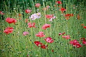 THE PRIORY, BEECH HILL, Berkshire: ANNUAL POPPIES (PAPAVER RHOEAS 'Shirley Single Mixed') IN THE PICKING BED
