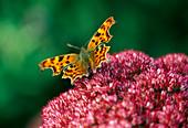 Comma OR TATTY TORTOISESHELL Butterfly On SEDUM 'AUTUMN JOY'. THE PICTON Garden, WORCESTERSHIRE