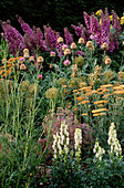 PETTIFERS, OXFORDSHIRE: Main BORDER IN SUMMER with Delphinium 'Rosemary BROCK', Achillea TERRACOTTA, ALLIUM Purple Sensation, AND Centaurea PULCHERRIMA 'PULCHRA MAJOR'