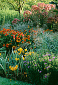 PETTIFERS, OXFORDSHIRE: THE AUTUMN BORDER with Aster SONORO, CROCOSMIA 'WALBERTON Yellow', EUPATORIUM PURPUREUM 'Riesenschirm' AND HELENIUM 'SAHIN'S EARLY FLOWERER'