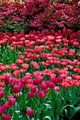 Keukenhof GARDENS, Holland: Tulipa Attila, Tulipa 'LYDIA', Hyacinthus 'Jan BOS AND A Pink AZALEA