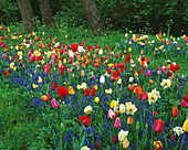 Keukenhof GARDENS, Holland: NATURAL STYLE PLANTING of TULIPS AND NARCISSUS IN GRASS (MEADOW)