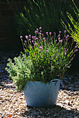 Designer Clare MATTHEWS: Relaxing BATH PROJECT: POWDER Blue Metal Container PLANTED with CHAMOMILE (CHAMAEMELUM Nobile 'FLORE PLENO' & Lavandula MUNSTEAD 'DWARF LAVENDER'
