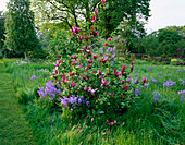 PETTIFERS, OXFORDSHIRE: THE MEADOW with BLUEBELLS AND MAGNOLIA LILIIFLORA 'NIGRA'
