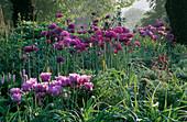 PETTIFERS, OXFORDSHIRE: SPRING BORDER with Tulipa 'Blue Parrot' AND ALLIUM 'Purple Sensation'