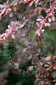 SPIDERS WEB On BERBERIS 'ROSEGLOW'