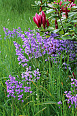 PETTIFERS Garden, OXFORDSHIRE: BLUEBELLS GROWING IN THE MEADOW with MAGNOLIA LILLIFLORA NIGRA