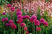 PETTIFERS Garden, OXFORDSHIRE: BORDER IN SPRING with ALLIUM 'Purple Sensation' AND DICTAMNUS Var PURPUREUS