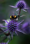 Designer Clare MATTHEWS - Devon Garden - Bumble BEE On ERYNGIUM PLANUM 'BLAUKAPPE'