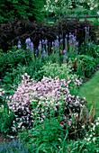 PETTIFERS Garden, OXFORDSHIRE: BORDER with DEUTZIA, CAMASSIA QUAMASH 'ORION', AQUILEGIA AND BERBERIS 'ROSEGLOW'