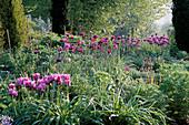 PETTIFERS Garden, OXFORDSHIRE: BORDER with Tulipa 'Blue Parrot' AND ALLIUM 'Purple Sensation'