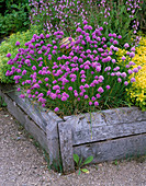 THE ABBEY HOUSE, Wiltshire: RAISED WOODEN BED IN THE Herb Garden with CHIVES FLOWERING Beside THE 'Pantheon' CERAMIC SCULPTURE by CHERYL DEDMAN