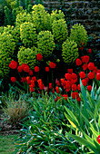 PETTIFERS Garden, OXFORDSHIRE: EUPHORBIA CHARACIAS SUBS WULFENII 'Purple AND Gold', Tulip 'Queen of SHEBA' AND Red Tulipa
