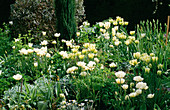 White Tulip BORDER at ST. MICHAEL'S HOUSE, Kent: Tulipa 'SPRING Green' AND 'MOUNT TACOMA'