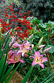 CROCOSMIA 'LUCIFER' AND LILIUM 'CORAL Queen'. PARSONAGE, OMBERSLEY, WORCESTERSHIRE