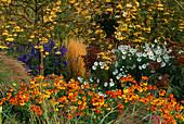 PETTIFERS Garden, OXFORDSHIRE: AUTUMN BORDER with SORBUS 'JOSEPHS Rock', CALAMAGROSTIS 'Karl FOERSTER', HELENIUM 'SAHINS EARLY FLOWERER', CHRYSANTHEMUM ULIGINOSUM