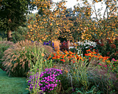 PETTIFERS Garden, OXFORDSHIRE: AUTUMN BORDER with SORBUS 'Joseph Rock', Aster 'VIOLET Queen', HELENIUM 'SAHINS EARLY FLOWERER'