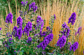 PETTIFERS Garden, OXFORDSHIRE: ACONITUM CARMICHAELII 'ARENDSII' IN Front of CALAMAGROSTIS X ACUTIFLORA 'Karl FOERSTER'