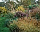 AMPELODESMOS MAURITANICUS, Iris LACTEA, Aster 'COOMBE FISHACRE', MOLINIA CAERULEA 'VARIEGATA' AND Golden PRIVET, MARCHANTS Hardy PLANTS, Sussex