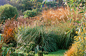 Mixed GRASSES INCLUDING MOLINIA, AMPELODESMOS, AND Agapanthus SEED HEADS: MARCHANTS Hardy PLANTS, Sussex