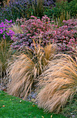 LATE SUMMER BORDER with STIPA TENUISSIMA AND Aster 'LITTLE CARLOW'. Designer: JOHN MASSEY