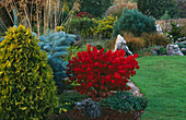 JOHN MASSEYS Garden, WORCESTERSHIRE: EUONYMUS ALATUS 'COMPACTUS' Beside THE LAWN
