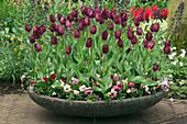 FIBREGLASS Container PLANTED with PANSIES AND Tulipa 'HAVRAN'. Keukenhof GARDENS, NETHERLANDS
