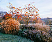 PETTIFERS Garden, OXFORDSHIRE: Winter Frost BORDER with SORBUS 'Joseph Rock', Aster 'VIOLET Queen', MISCANTHUS 'YAKUSHIMA DWARF' , HELENIUM 'SAHINS EARLY FLOWERER'