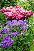 BIRTSMORTON Court, WORCESTERSHIRE: BORDER IN THE WALLLED Garden with GERANIUM 'JOHNSONS Blue' AND PEONY 'BETHCAR'