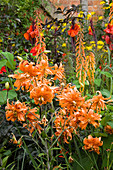 Skc - WOLLERTON Old HALL, SHROPSHIRE - Hot PLANTING of Orange LILIES, CANNAS AND PHYGELIUS