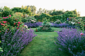 HALL Farm, Lincolnshire: THE ROSE Garden with Nepeta 'Six HILLS GIANT'