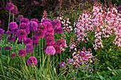PETTIFERS Garden, OXFORDSHIRE: BORDER IN SPRING with ALLIUM 'Purple Sensation' AND DICTAMNUS Var PURPUREUS.