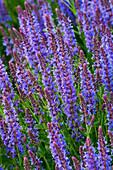 RICKYARD BARN, NORTHAMPTONSHIRE: Salvia X SUPERBA